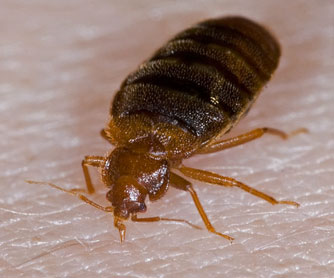 Bed Bugs Can Live Without Food