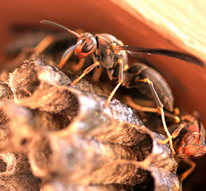 Home Remedies for Hornet Stings | Grandma's Home Remedies