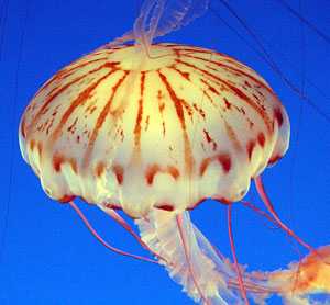 pin electric jellyfish animal wallpapers on pinterest